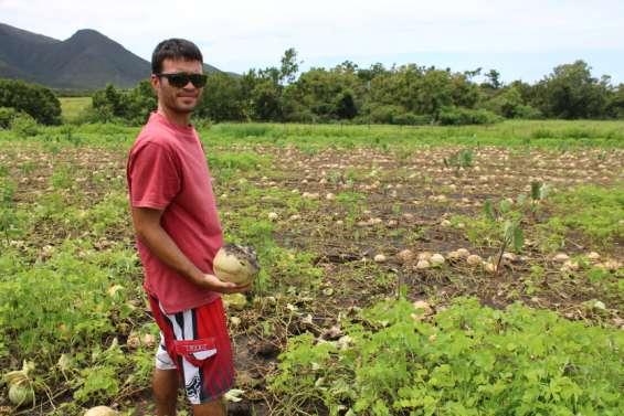 Cinq tonnes de melons perdues à cause des pluies