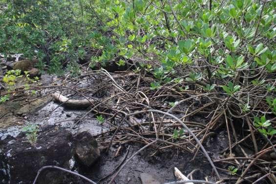 Découverte botanique de la mangrove à l'office de tourisme