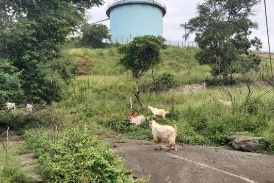 Des chèvres et des boucs folâtrentsur la colline de la SLN, à Doniambo