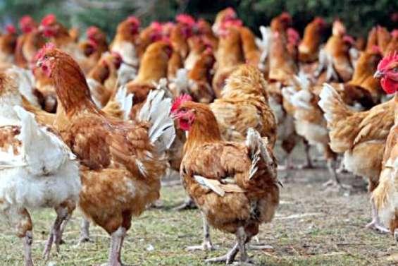 Suspicion de grippe aviaire dans une exploitation de volailles à Païta