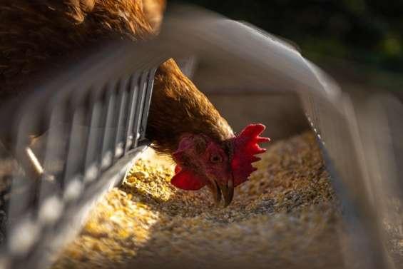 Un foyer de grippe aviaire dans un élevage de volailles à Païta ?