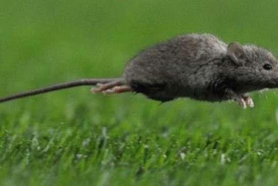 L'estde l'île-continentenvahi par des souris ravageuses