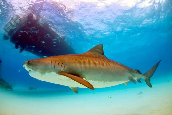 Vingt-quatre requins ont été