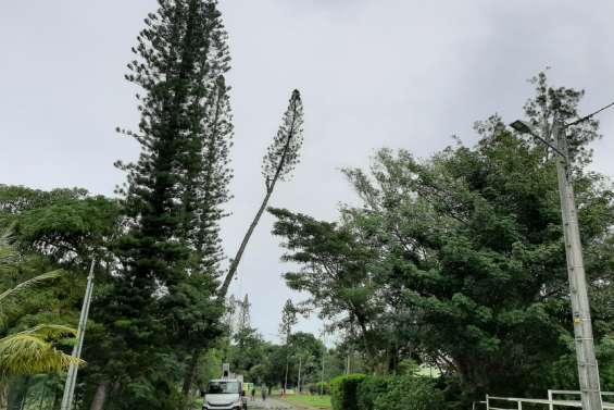 La RM3 coupée le temps d'élaguer un pin colonnaire