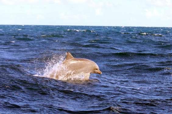 La plaisance menace les dauphins côtiers du lagon Sud