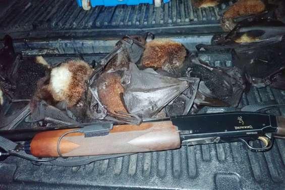 Des chasseurs pris en trainde braconner des roussettes