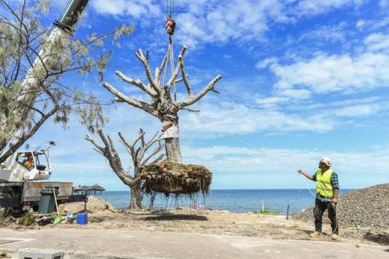 Anse-Vata : quatre banians sauvés de l'érosion côtière