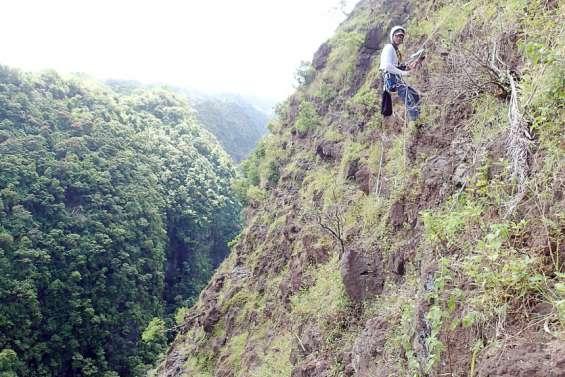 Polynésie : la falaise de Maruapo débarrassée de la fourmi de feu