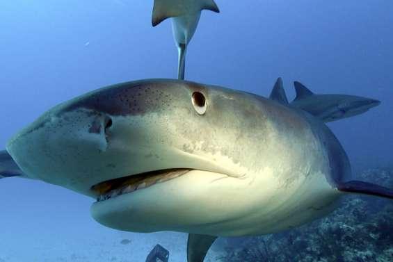 [VIDÉO] Comment faire face au risque requin?