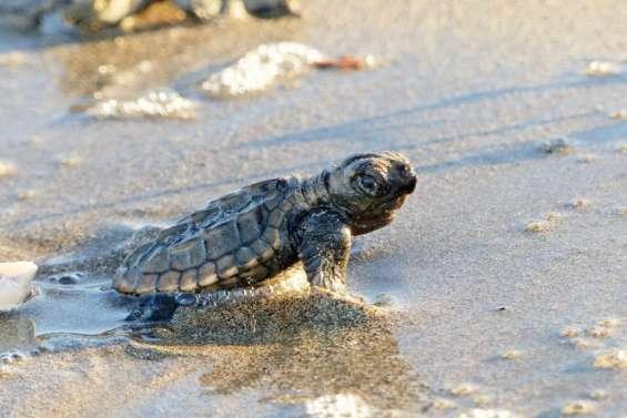Une subvention de 800000francs pour la Journée de la tortue