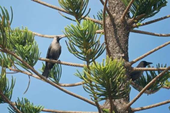 Deux corneilles des Indes abattues à Nouméa