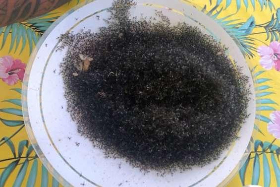 Les moucherons envahissent les Gambier