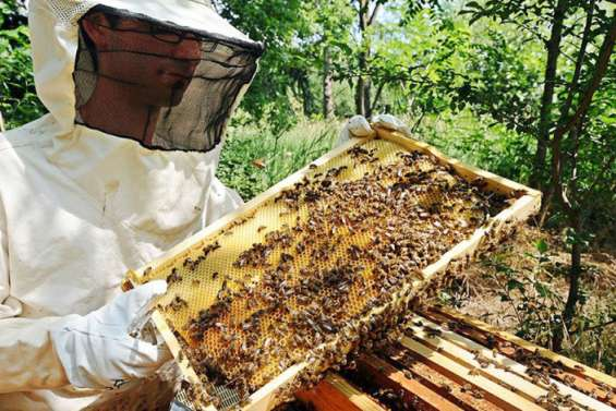 La météo a mis les abeilles au chômage technique
