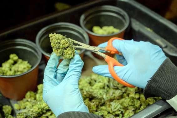 La filière du cannabis