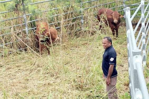 Des taureaux en quarantaine avant leur départ pour Tahiti