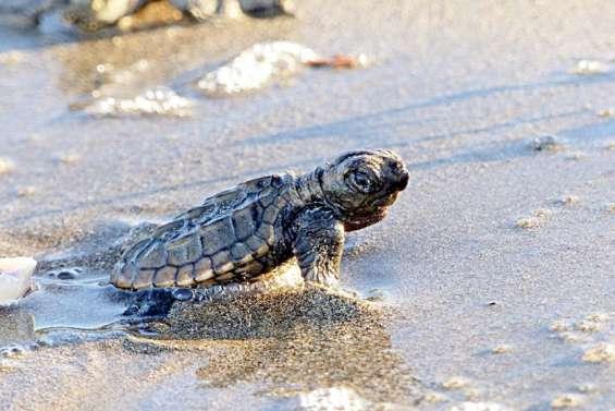 Des subventions pour la foire et pour Bwärä tortues marines