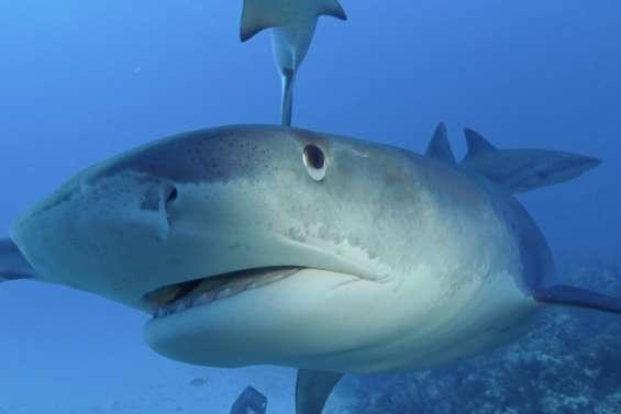 Une conférence  sur les requins