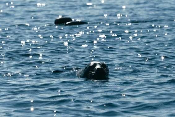En Finlande, la bataille pour sauver les phoques les plus menacés au monde