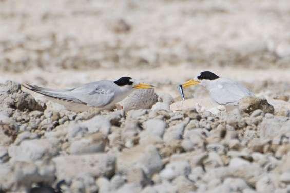 Restrictions d'accès aux îlots du lagon Nord-Ouest pour protéger les sternes néréis