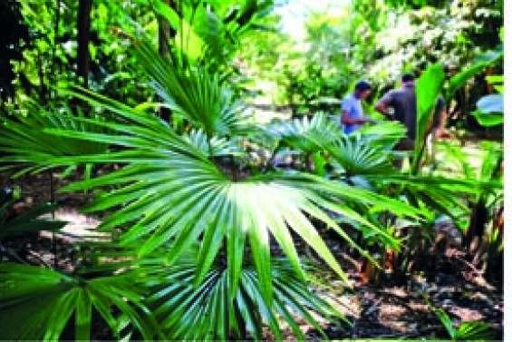 Le palmier à la folle histoire est de retour sur ses terres