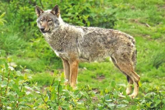 Vosges : loup y es-tu ?