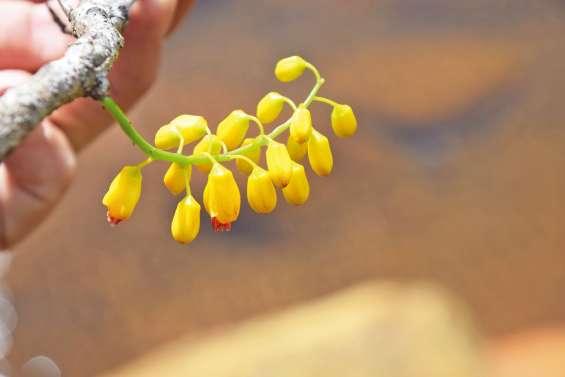 Une espèce micro-endémique redécouverte à l'île Ouen