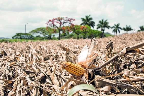 La récolte ne se relèvera pas  à Bourail