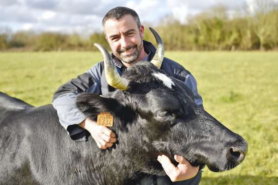 Les races bovines locales résistent