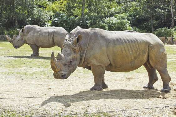 Un rhinocéros tué pour sa corne à Thoiry
