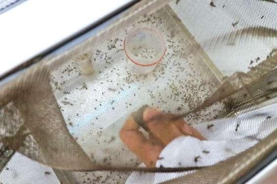 Contrer la résistance de l'Aedes