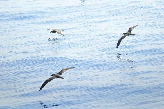 Hécatombe à bas bruit  des oiseaux marins