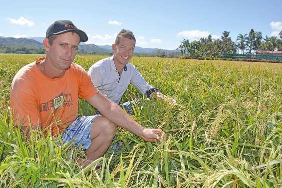 La filière riz pousse doucement