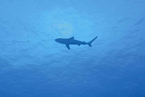 Le sanctuaire des requins s'étend à la province Sud