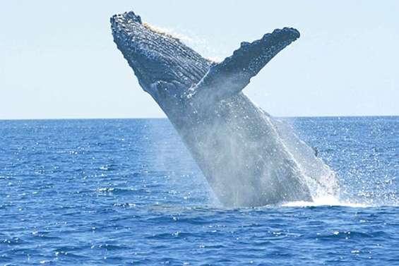 Une baleine heurte la coque : quatre blessés
