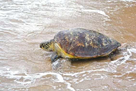 Une tortue bientôt libérée à Jozip