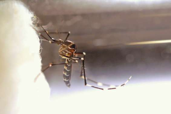 Deux nouveaux moustiques connus pour être plutôt gauches