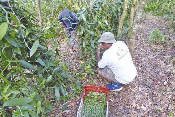 La filière vanille enregistre une baisse de production