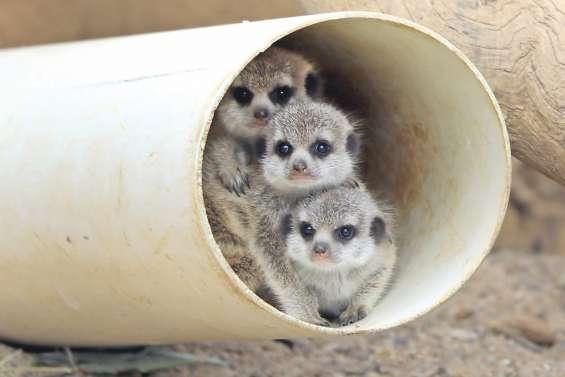 Des bébés suricates au zoo de Canberra