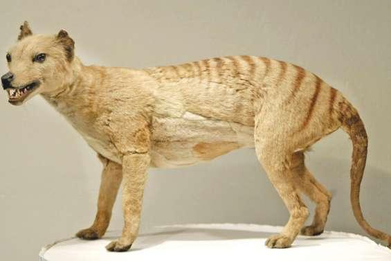 El Niño aurait eu raison du tigre de Tasmanie