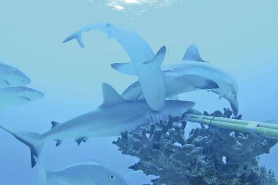 Les requins de récif fuient  la présence de l'homme