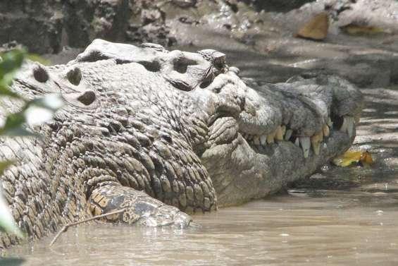 Le crocodile aurait mangé la retraitée