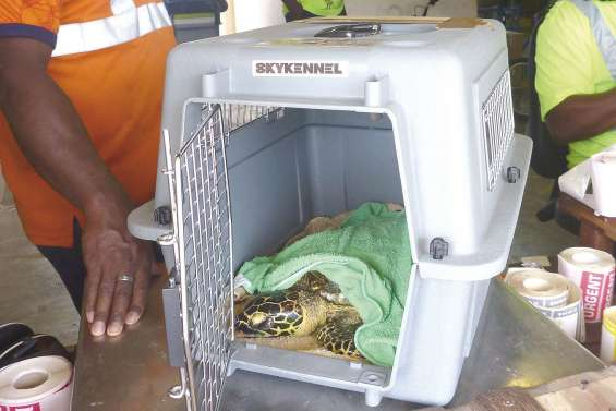 Une tortue protégée évasanée