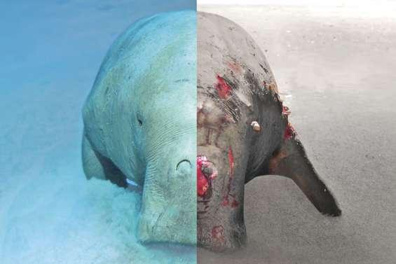 Un numéro d'urgence pourvenir au secours des dugongs
