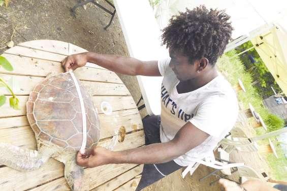 Trop de peu de mâles : les tortues vertes menacées