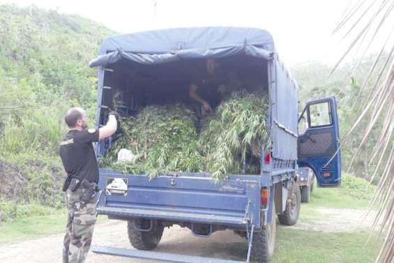 Du cannabis découvert et détruit à Thio