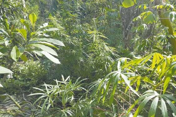 1 000 pieds d'herbe  arrachés à Poingam