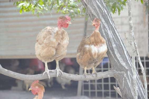 La filière poulet va-t-elle prendre son envol ?