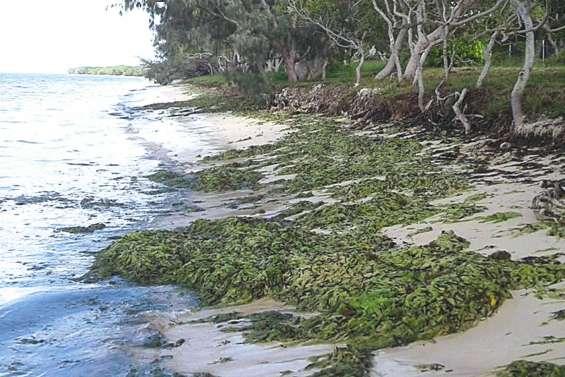Nouveau dépôt d'algues sur les plages de Poé