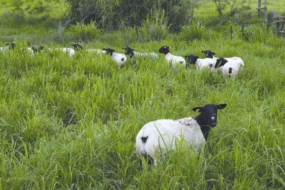 Des transferts d'embryons  pour relancer la production ovine