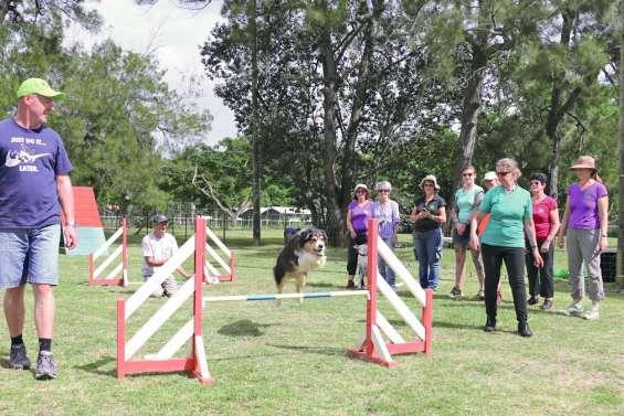 Les chiens calédoniens, maîtres de l'agility